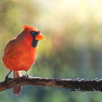Eric Rowe - Cardinal